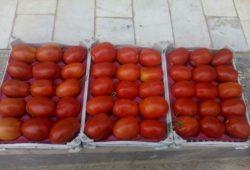ممنوعیت صادرات گوجه فرنگی