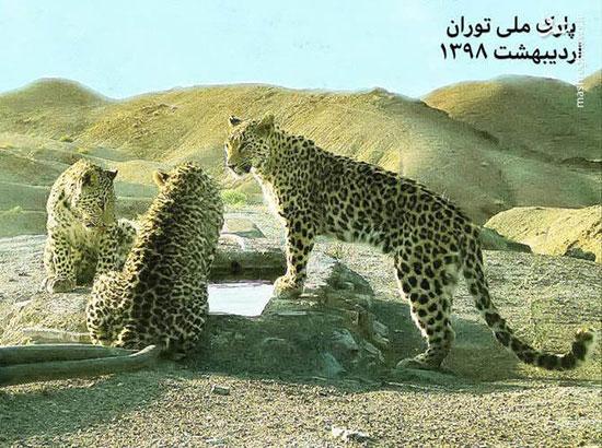 ۳ پلنگ ایرانی